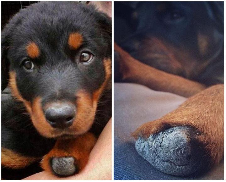 Brutus perro con prótesis