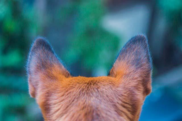Orejas de perro