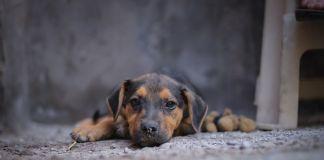 moquillo-canino