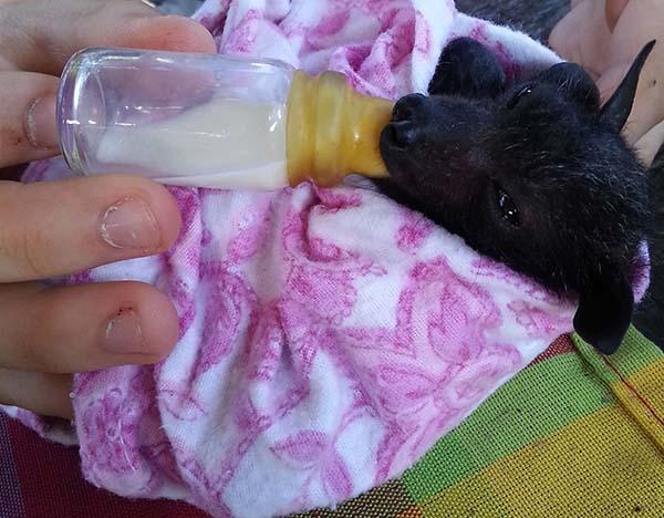 murciélagos-bebé-10