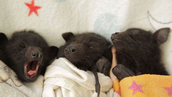 Adorables fotos de bebés de murciélago rescatados