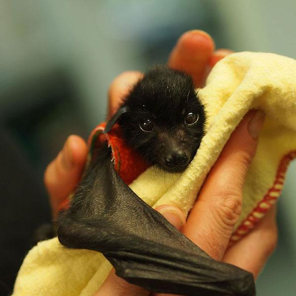 murciélagos-bebé-3