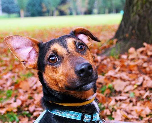 otitis-perros