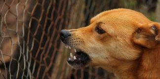 perro-rabia