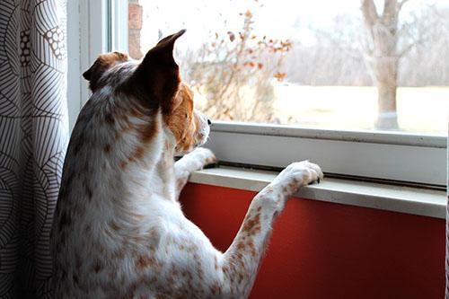 perro-ventana-transmisión-moquillo