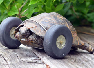 Tortuga de 90 años camina gracias a ruedas protésicas