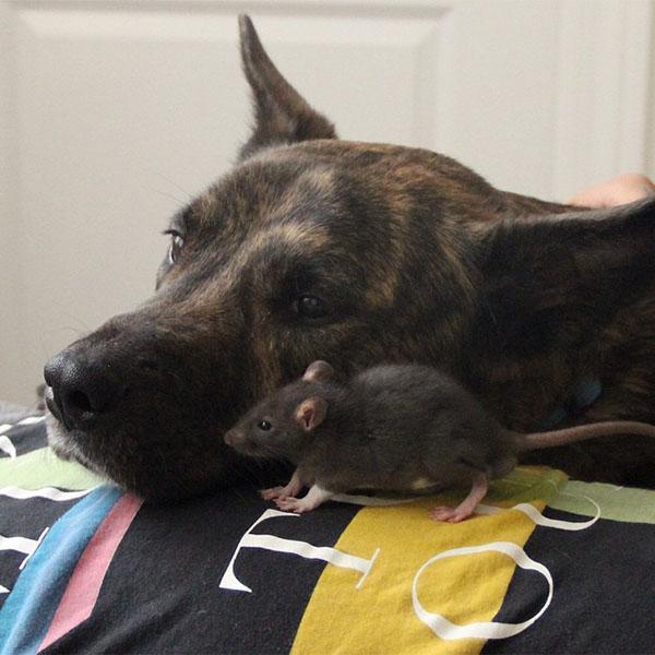 amistad-perro-rata-4