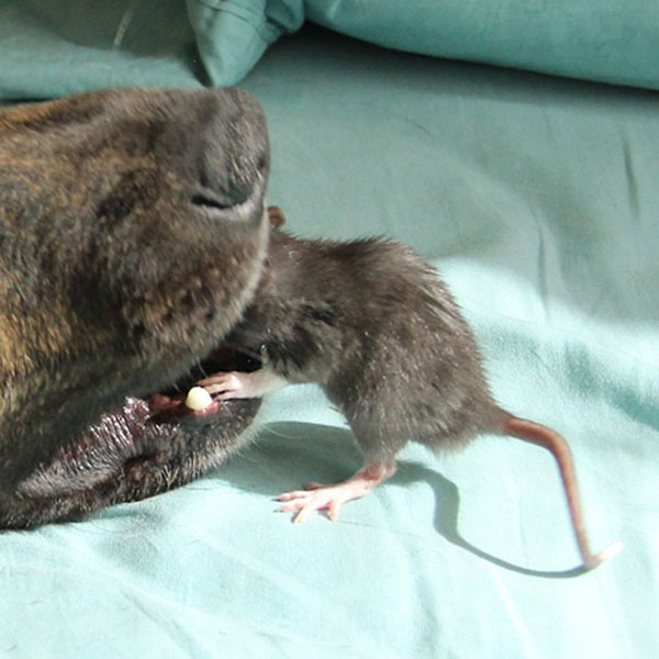 amistad-perro-rata-8