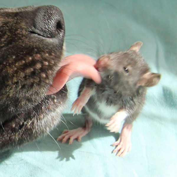 amistad-perro-rata