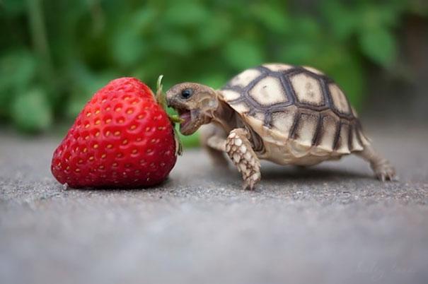 animales-comiendo-frutas-3