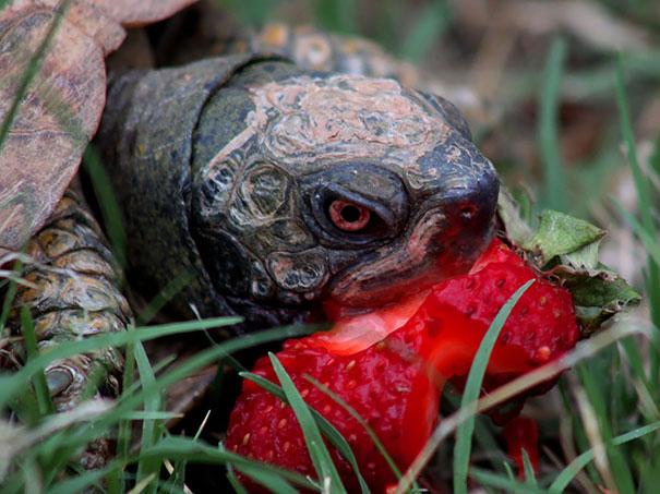 animales-comiendo-frutas-4