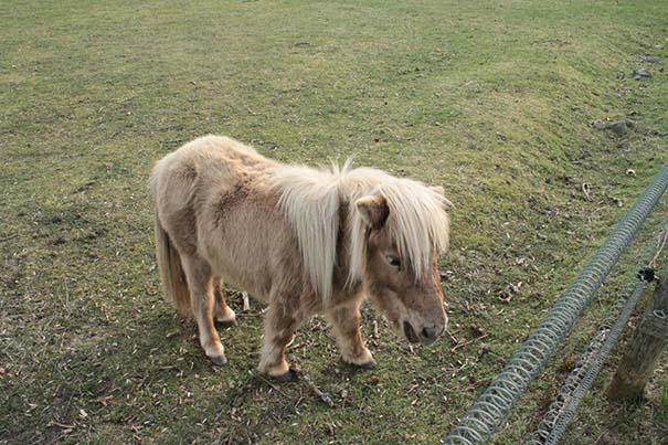 caballos-miniatura-3