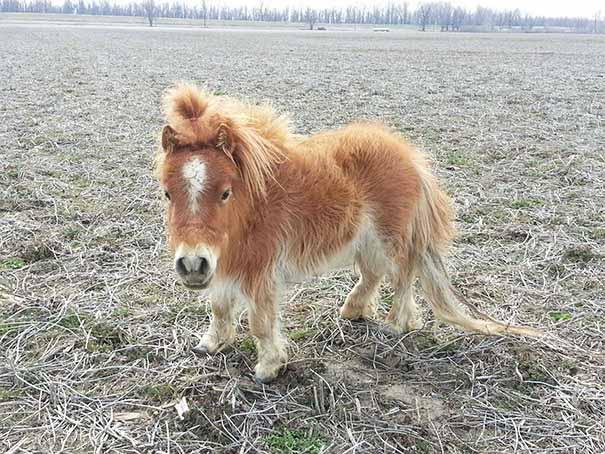 caballos-miniatura-4