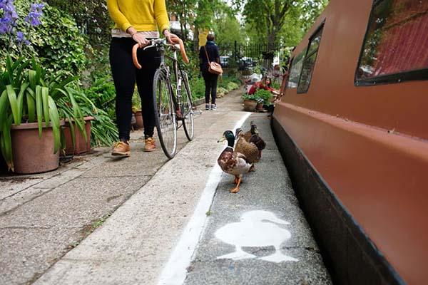 patos-tienen-su-propio-carril-6