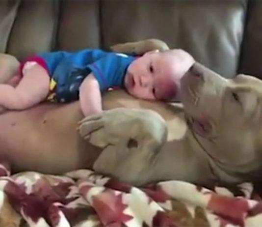pit bulls y sus ataques de ternura