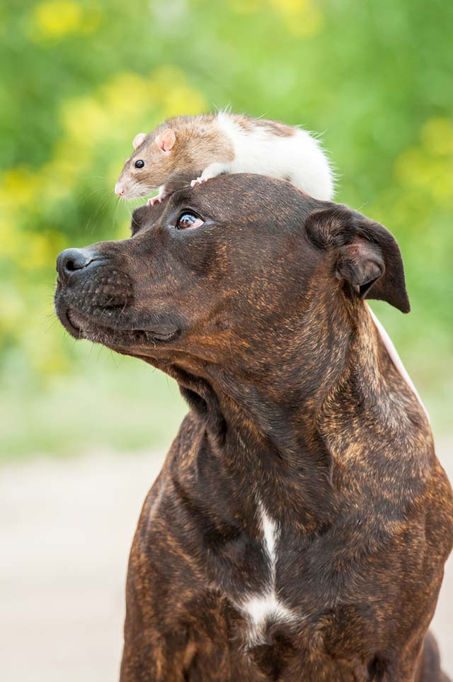 pitbulls-y-sus-ataques-de-ternura-3