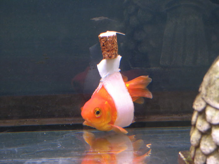 Silla de ruedas para peces notasdemascotas.com