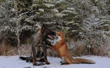 Una amistad sin barreras entre un perro y un zorro
