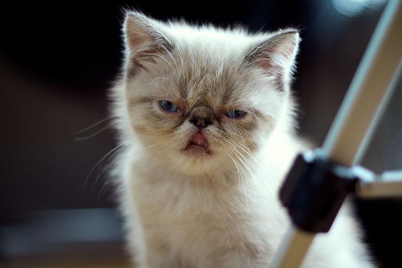 Gatito enojado