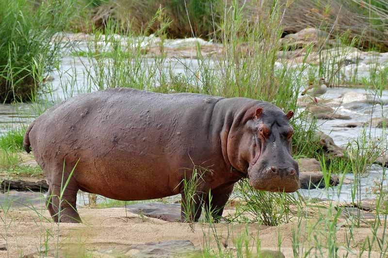hipopótamo enojado