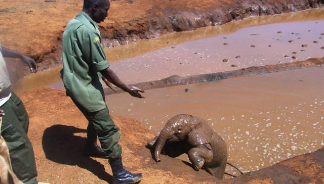 bebé elefante es salvado de ahogarse