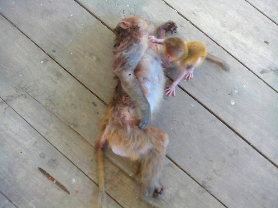 Baby-mono-abbracciare-a-madre morta