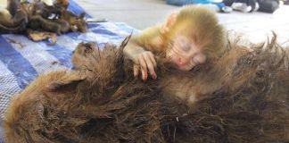 bebé mono abraza a madre muerta