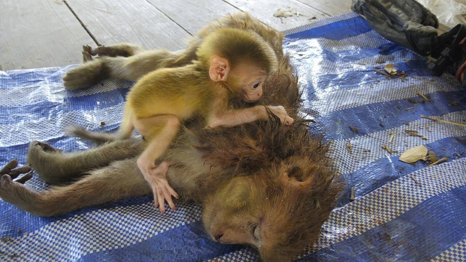 rhesus-scimmia-morti