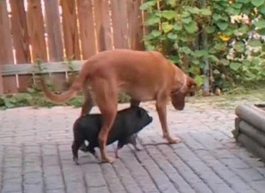 cerdo-sigue-los-pasos-de-su-hermano-mayor