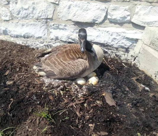 Gansa que le incendiaron sus huevos adopta gansos bebés
