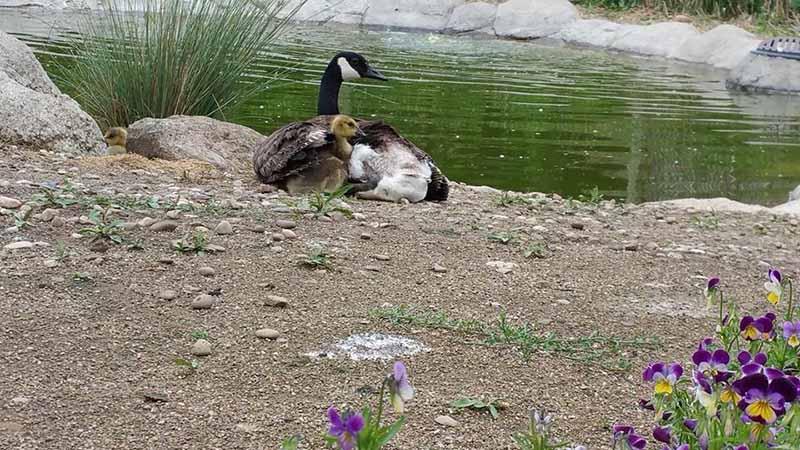 gansa-adopta-polluelos-de-ganso