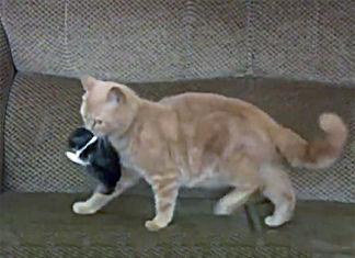 gata adopta a conejo