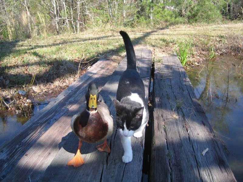 gatos-aman-a-los-patos-1