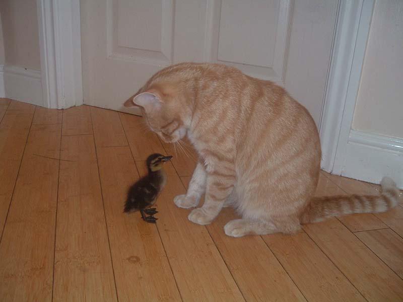 gatos-aman-a-los-patos-2