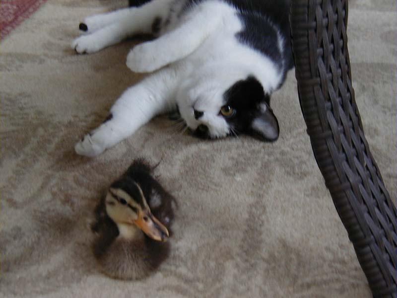 gatos-aman-a-los-patos-3
