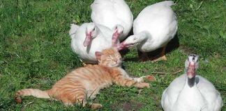 Gatos que aman a los patos