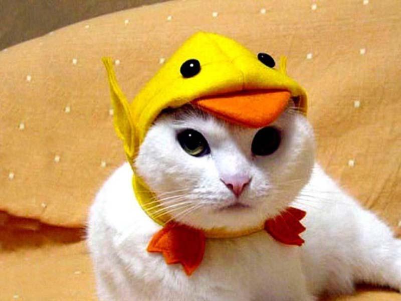 gatos-aman-a-los-patos-9