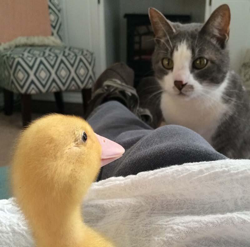 gatos-que-aman-a-los-patos-10