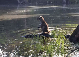 mapache-montando-cocodrilo-notasdemascotas