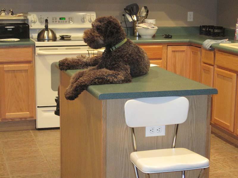 perro-encima-de-mesón-de-la-cocina