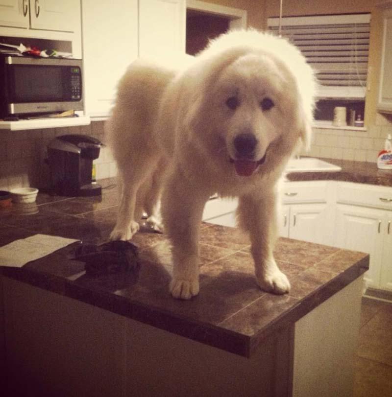 perro-grande-en-la-mesa