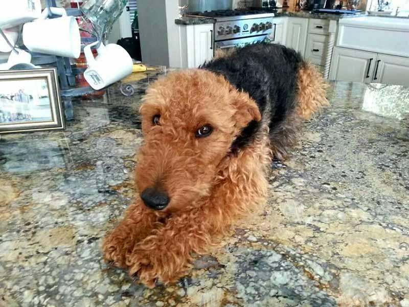 perro-grande-en-la-cocina