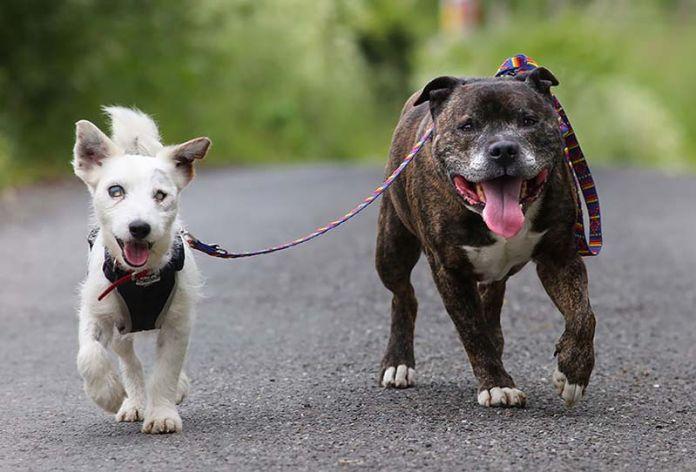 Un perro guía a un perro ciego