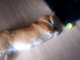 perro-más-perezoso