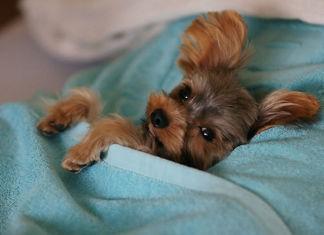 Divertidas fotos de perros que se adueñan de tu cama