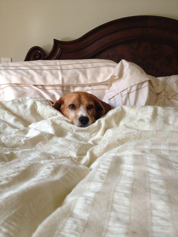 perros-se-adueñan-de-tu-cama-5
