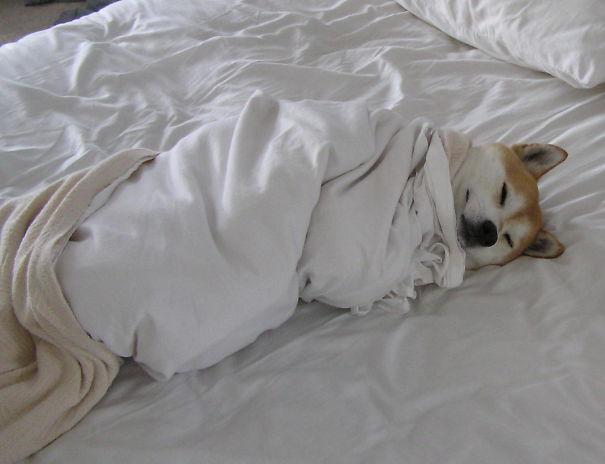 perro-arropado-cama
