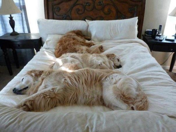 perros-se-adueñan-de-tu-cama-8
