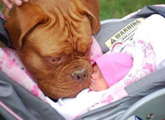 perros que aman a los bebés