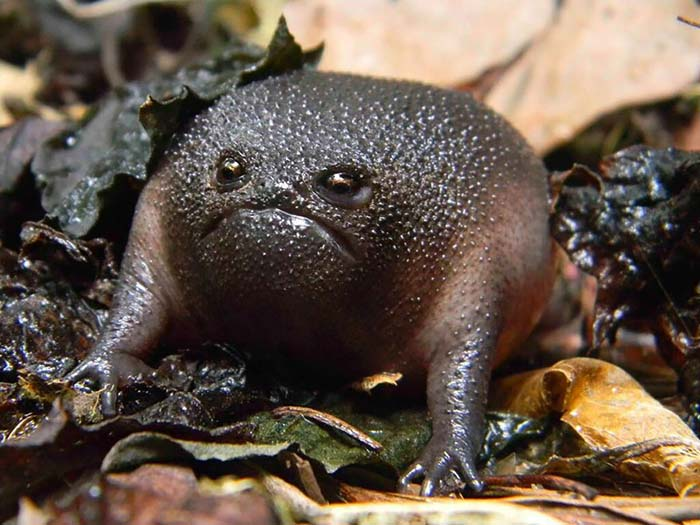 ranas-y-sapos-raros-1
